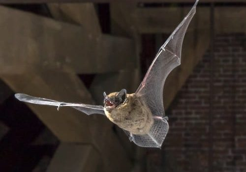Bat Removal From Homes